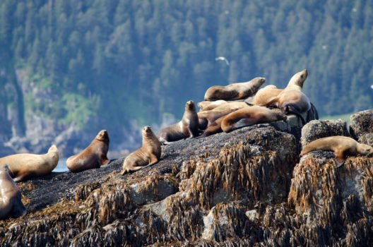 Seeotter im Kenai-Fjords-Nationalpark (Bild: © Tony Campbell - shutterstock.com)