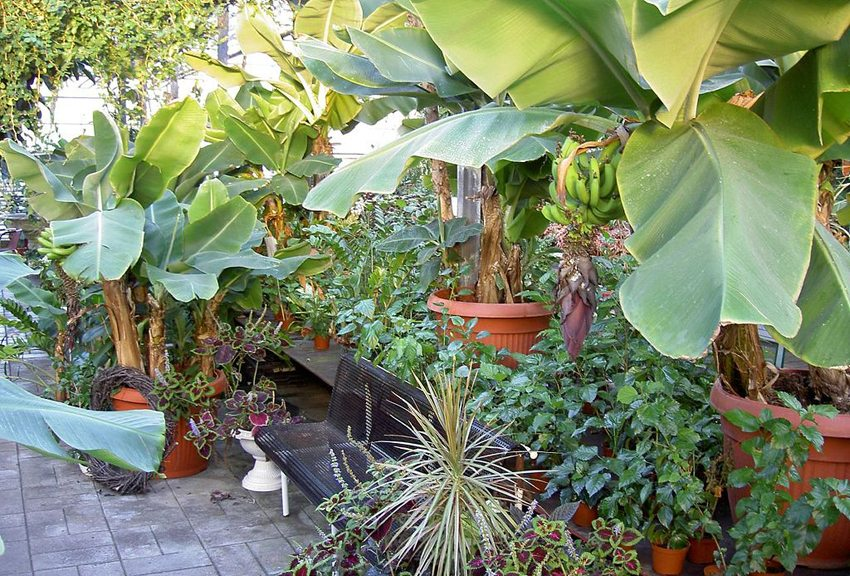 Bananenpalmen im Gewächshaus Eden, Hveragerði (Bild: big-ashb, Wikimedia, CC)