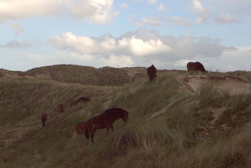 Pferde im nordholländischen Dünenreservat bei Egmond aan Zee (Bild: Harald Lordick, Wikimedia, CC)
