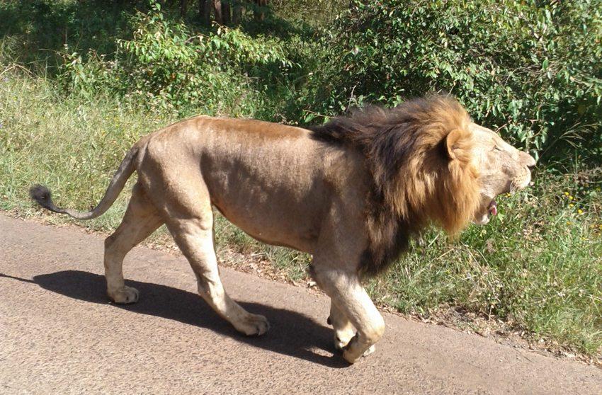 Löwe im Nairobi-Nationalpark (Bild: Stephenwanjau, Wikimedia, CC)