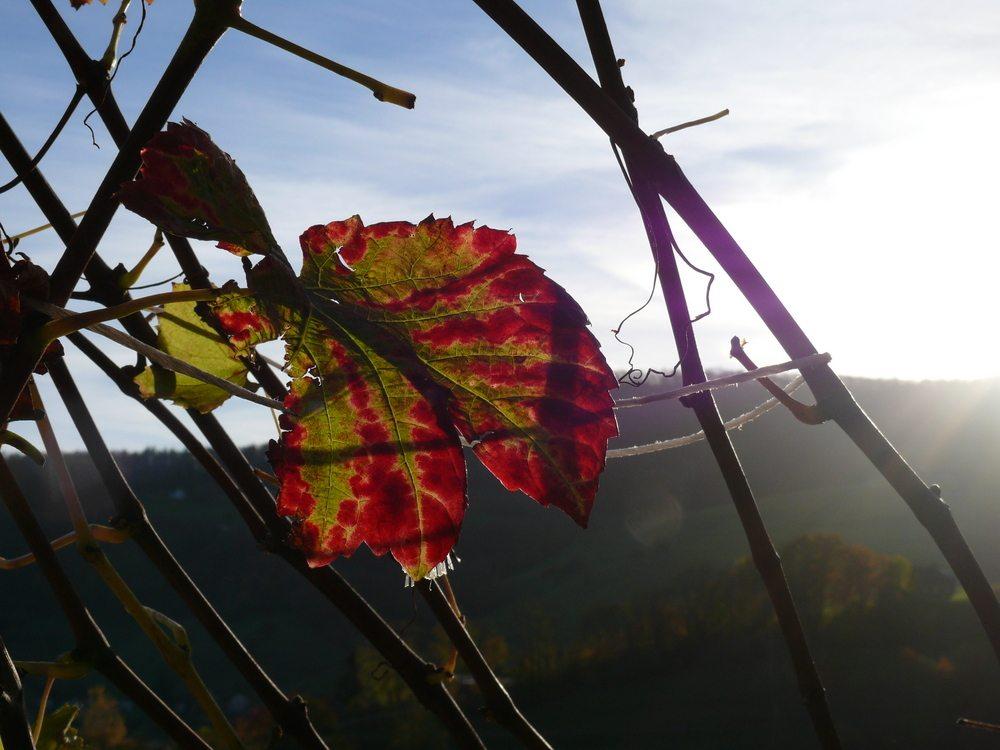 Die bunten Weinblätter leuchten wie angemalt in der Abendsonne. (© Sabine Itting)