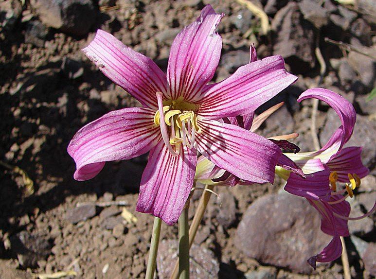La Anañuca – die Lilie der Anden (Bild: Dick Culbert, Wikimedia, CC)