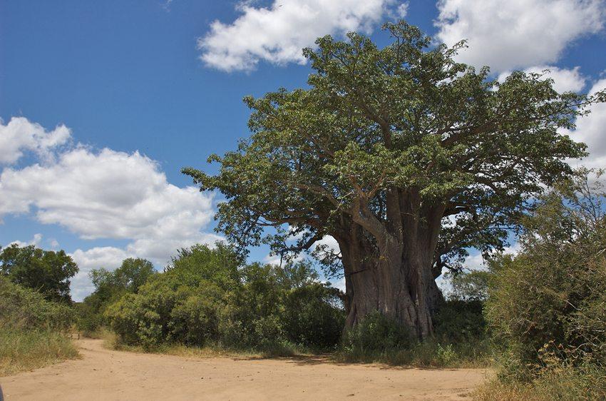 Baobab im Krüger-Nationalpark (Bild: Oscar Chao, Wikimedia, CC)