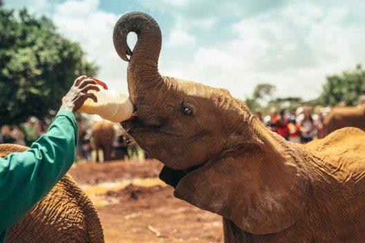 Elefant im Nairobi-Nationalpark (Bild: © Max Smolyar - shutterstock.com)