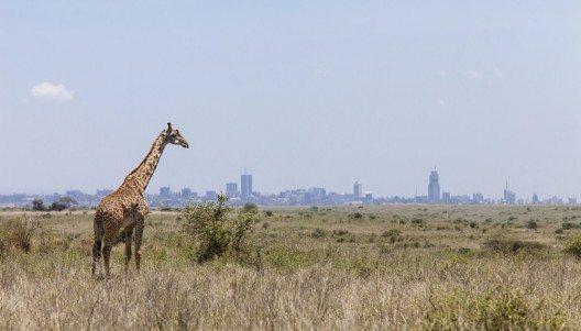 Giraffe im Nairobi-Nationalpark (Bild: © John Wollwerth - shutterstock.com)