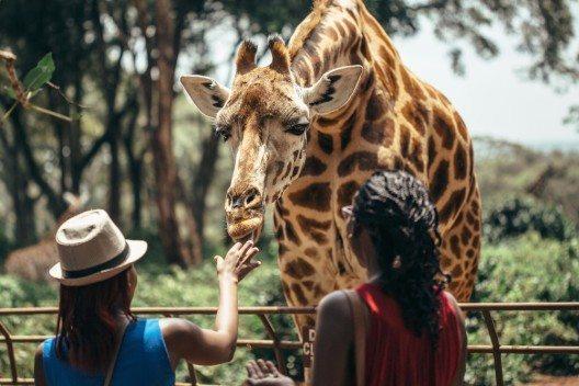 Giraffe im Nairobi-Nationalpark (Bild: © Max Smolyar - shutterstock.com)