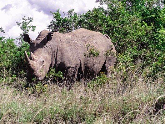 Nashorn im Nairobi-Nationalpark (Bild: © Antoinette Washington - shutterstock.com)