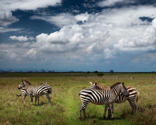 Zebras im Nairobi-Nationalpark (Bild: © Dudarev Mikhail - shutterstock.com)