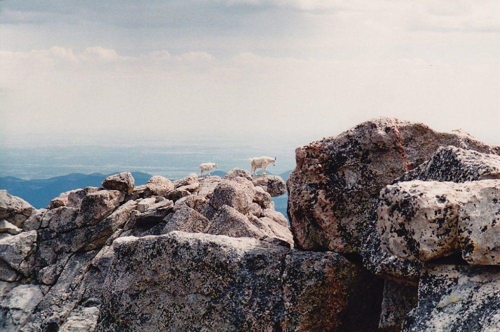 Bergziegen in den Rocky Mountains, Colorado (Bild: Neptunerover, Wikimedia, CC)
