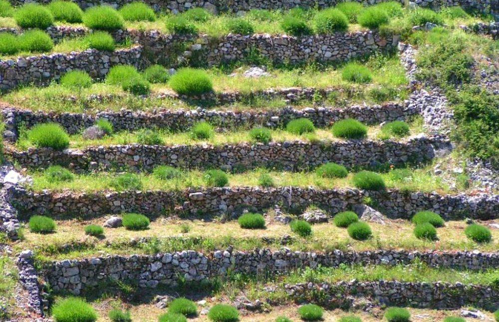 Lavendel-Feld auf Hvar (Bild: Pierre Mounier, Wikimedia, CC)