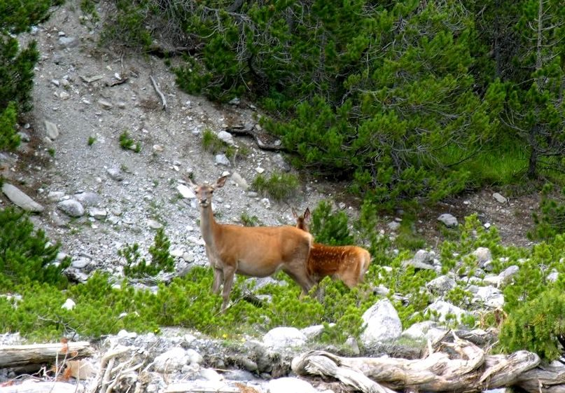 Hirsche im Nationalpark in Zernez (Bild: MadGeographer, Wikimedia, CC)