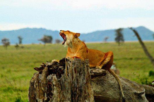 Löwin in der Ngorongoro Conservation Area (Bild: Sajjad Sherally Fazel, Wikimedia, CC)