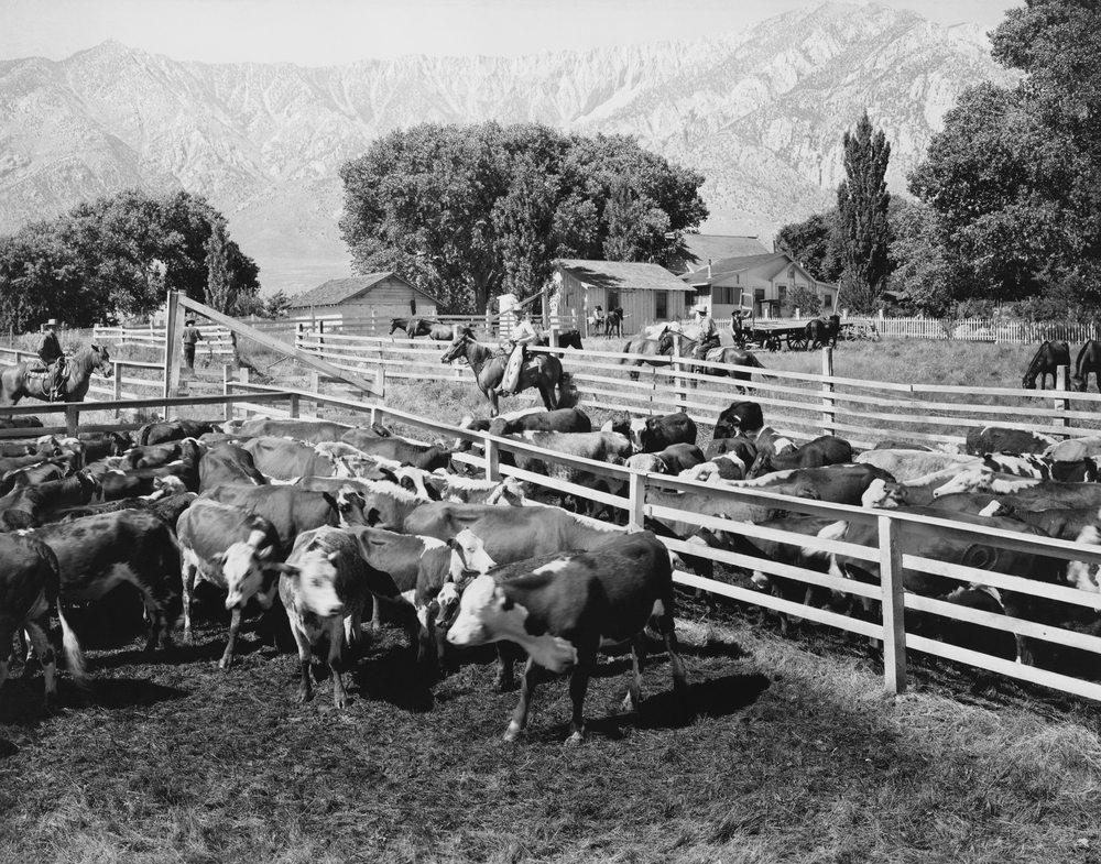 Die tägliche Arbeit der Cowboys mit Rindern und Pferden. (Bild: © Everett Collection - shutterstock.com)