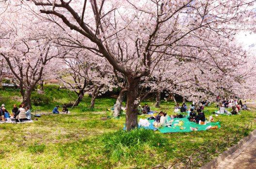 Hanami - ein Picknick japanischer Art. (Bild: Kisan / Shutterstock.com)
