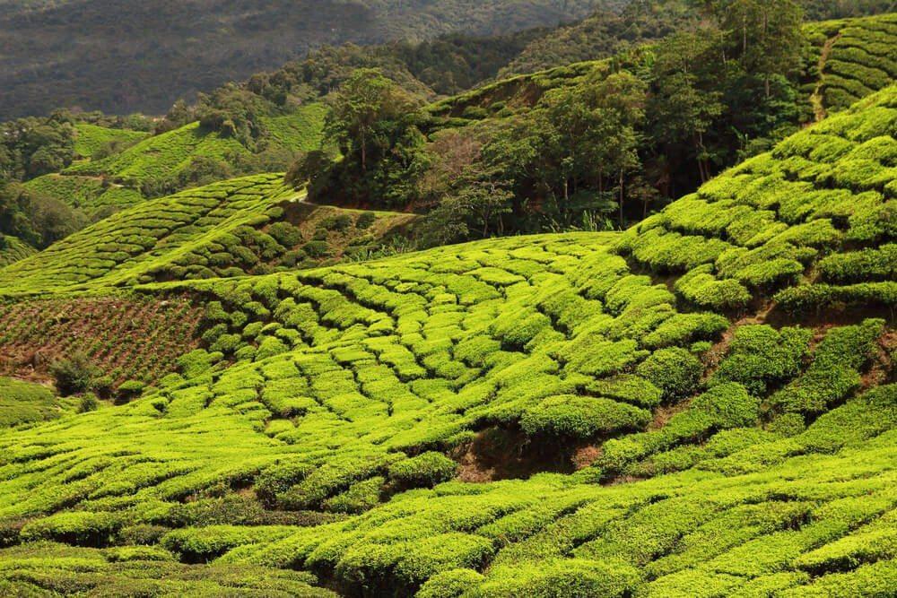 Teeplantage in Darjeeling (Bild: © Carlos Amarillo - shutterstock.com)