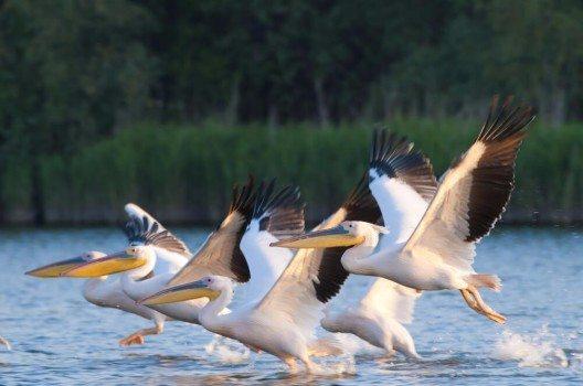 Pelikane finden im Donau-Delta hervorragende Lebensbedingungen.