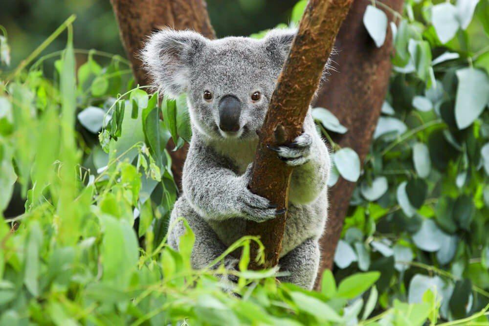 Bei Streifzügen durch die Eukalyptuswälder ist es durchaus wahrscheinlich, dem Koalabären zu begegnen. (Bild: © rickyd - shutterstock.com)