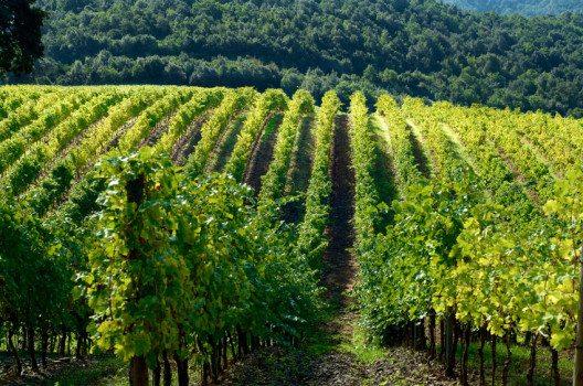 In der Maremma wird heute ausgedehnter Weinanbau betrieben. (Bild: Aerostato – shutterstock.com)
