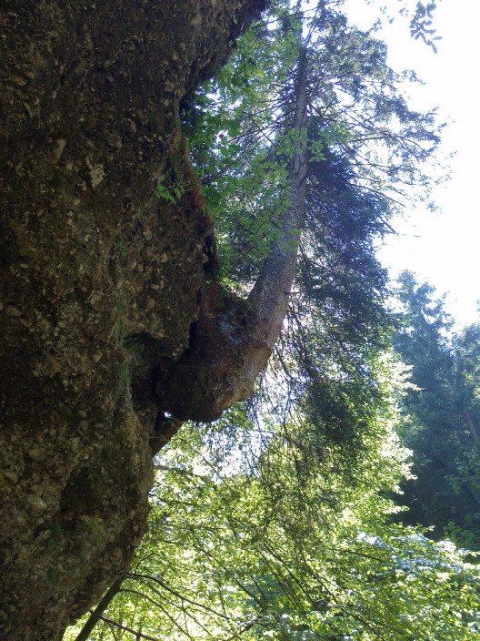 Cliffhanger-Baum in der Glasenbachklamm. (© Alin Cucu)