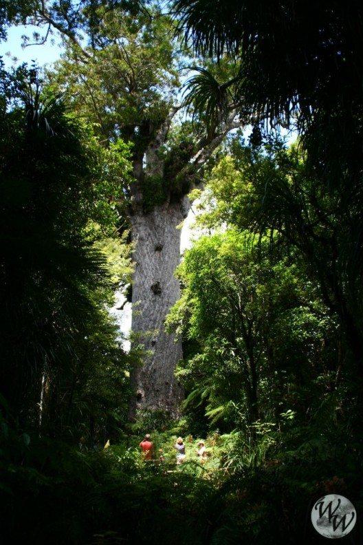 Riesige Kauribäume sind ein Wahrzeichen Neuseelands