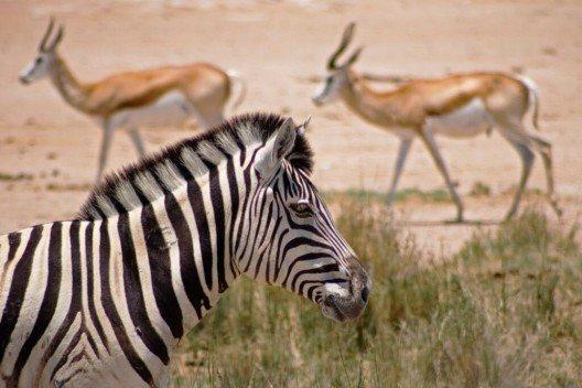 Zebras und Antilopenherden in freier Wildbahn erleben.