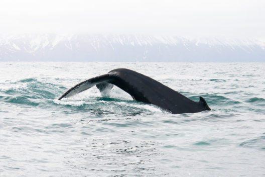 Mit ein wenig Glück kann man auf Húsavík Wale beobachten. (Bild: © Junne - shutterstock.com)