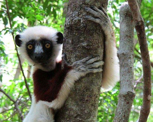 Lemuren springen über unsere Köpfe hinweg und schauen neugierig zu uns herunter.