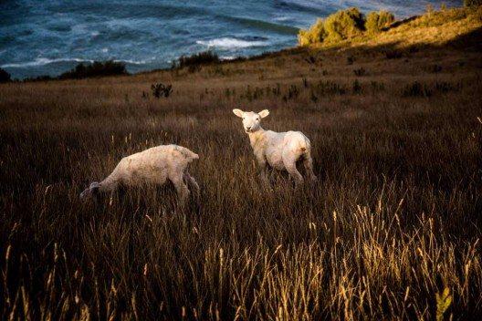 In Neuseeland leben mehr Schafe als Menschen.