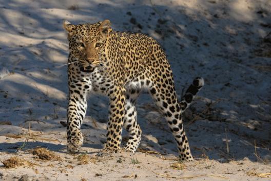 Leoparden findet man meistens in den frühen kühlen Morgenstunden.