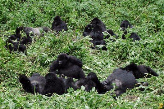 Gorillatrekking in Uganda (Bild: © iPics - shutterstock.com)