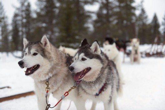 Huskytour in Lappland (Bild: © massimofusaro - shutterstock.com)