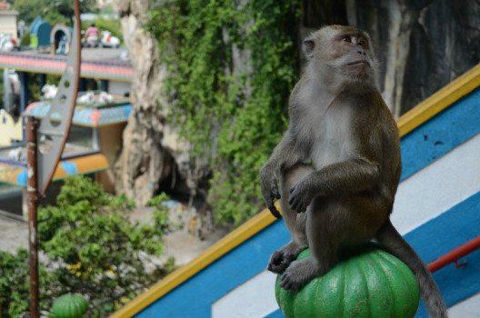 Die Batu Caves sind bevölkert von unzähligen Affen. (Bild: © Julia Schattauer / bezirzt.de)