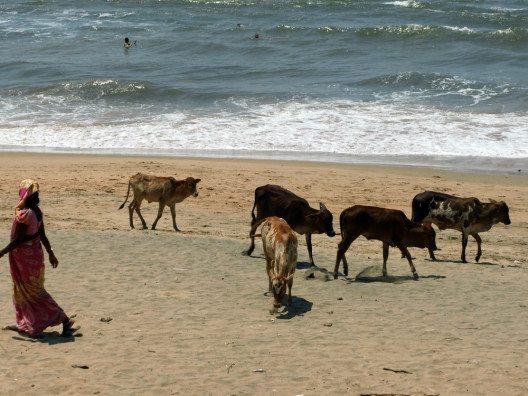 Ob Strand, Strasse oder Wiese: Kühe sind in Indien überall. (Bild: © Julia Schattauer / bezirzt.de)