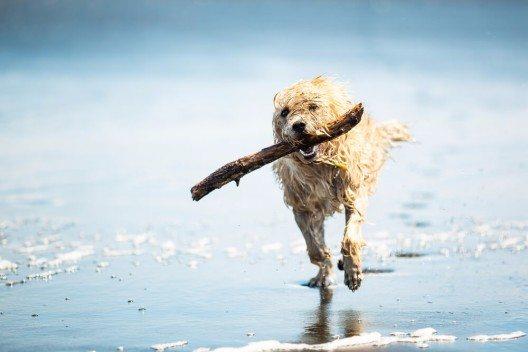 Ob und wann sich ein Hund am Strand aufhalten darf, sind recht unterschiedlich. (Bild: © Sunreal - shutterstock.com)