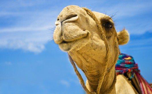 In verschiedenen Regionen bieten Kamelhöfe oder -farmen Trekkings und Reitmöglichkeiten an. (Bild: © Hamady - shutterstock.com)