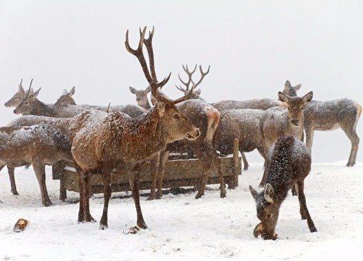 Höhepunkt der rund zweistündigen Wanderung über die Insel ist die Fütterung der Hirsche. (Bild: © irakite - shutterstock.com)