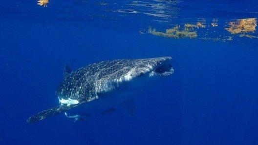 Schnorcheln mit Walhaien (Bild: © Yucatán Dive Trek/Christoph Hoppe)