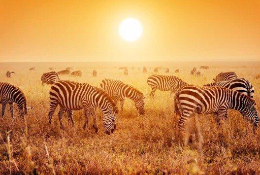 Zebraherden in den weiten Ebenen der Serengeti. (Bild: © PHOTOCREO Michal Bednarek - shutterstock.com)