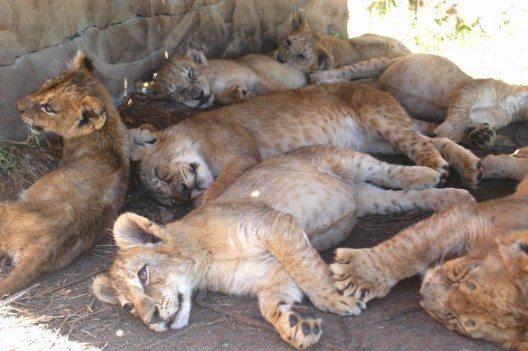 Löwenjungen, die schon bald von Jägern getötet werden, auf einer Zuchtfarm in Südafrika (Bild: © obs/VIER PFOTEN - Stiftung für Tierschutz/VIER PFOTEN/Thomas Pietsch)