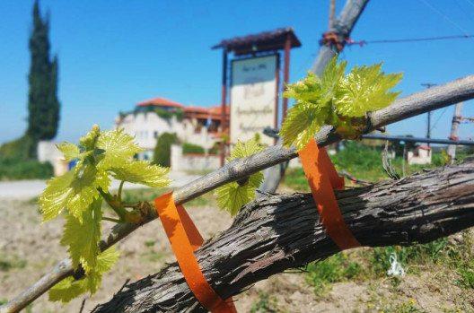 Neben den kleinen Steinfrüchten sind auch grüne Weinblätter eine wahre Delikatesse. (Bild: Mariannas Vineleaves)