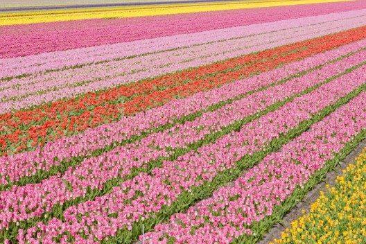Im Frühling ist der Besuch in Noordwijk ein Fest für die Sinne. (Bild: © PHB.cz - fotolia.com)