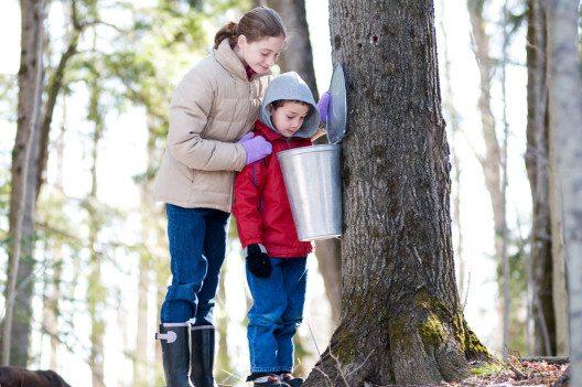 In Québec hat die Ahornsirup-Ernte gestartet. (Bild: sianc – Shutterstock.com)