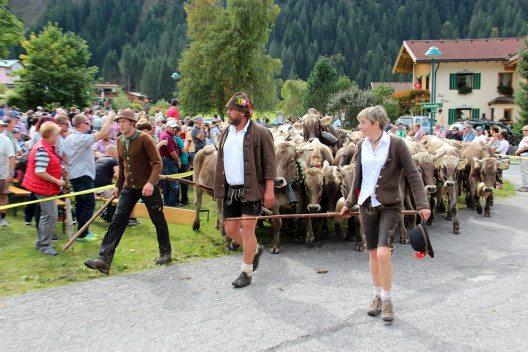 Almabtrieb in Haldensee (Bild: Tourismusverband Tannheimer Tal)