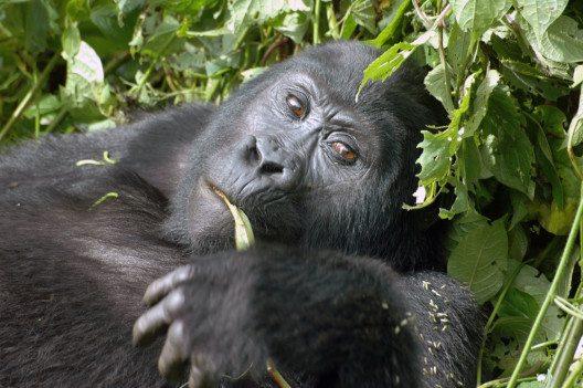 Auge in Auge mit den Berggorillas (Bild: pantarhei.ch)