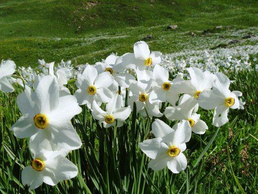 Die Prättigauer Narzissen blühen von Mitte Mai bis Mitte Juni (Bild: Ernst Gredig)