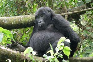 Die Berggorillas im Bwindi Nationalpark genieflen den Schutz und die Aufmerksamkeit der ganzen Welt. Nur noch 600 Exemplare leben in Uganda, weitere 200 in Ruanda und im Kongo.