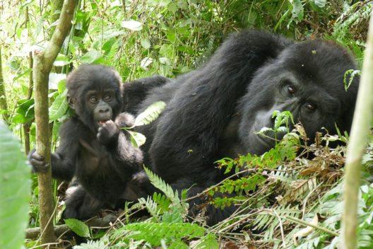 Die Berggorillas im Bwindi Nationalpark genießen den Schutz und die Aufmerksamkeit der ganzen Welt. Nur noch 600 Exemplare leben in Uganda, weitere 200 in Ruanda und im Kongo. Gorilla-Babys (im Bild: ein drei Monate altes Baby) müssen die ersten vier Jahre überleben, um durchzukommen. Danach können sie bis zu 50 Jahre alt werden. (Bild:Dr. Wilfried Seywald)