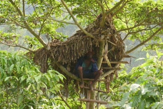 Der König der Batwa (Pygmäen) stieg von seinem Baumhaus selten herunter. Hier ein Nachbau am Rande des Nationalparks Bwindi in Uganda. (Bild:Dr. Wilfried Seywald)