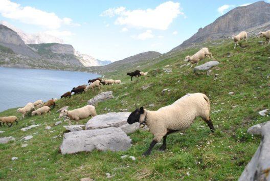 Die Schafe sind die Hauptakteure des Tages.
