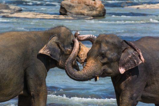 Auf Sri Lanka ist ein Ausflug zu den Elefanten von Pinnawela eingeplant. (Bild: © Shanti Hesse - shutterstock.com)